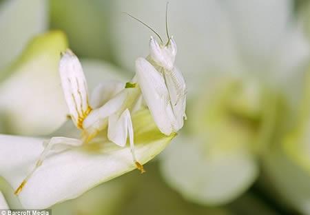 Ahora me ves...ahora no Malaysian_Orchid_Mantis